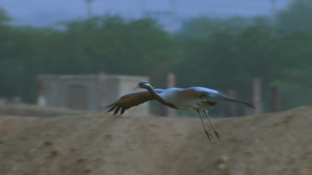 SLO MO MS Demoiselle crane gliding over river bank PAN left to second bird and TD with it as it lands in group