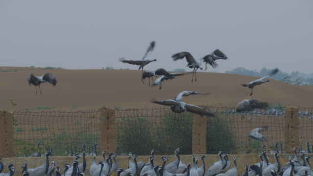 MS dense group of Demoiselle cranes TD with birds flying in to end on group with cranes filling foreground