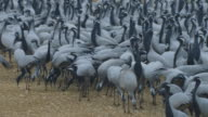 MS dense group of Demoiselle cranes with birds in foreground feeding on grain on the ground