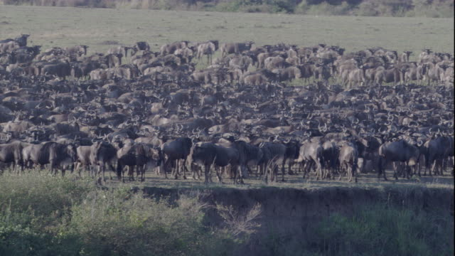 A dense herd of wildebeest gathers at a high river's edge in Masai Mara. Available in HD.