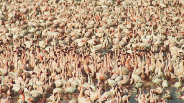 Dense mass of Lesser Flamingoes filling frame with group parading in centre