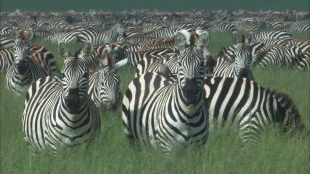 MS densely packed zebra herd in long grass with foreground zebras looking at camera