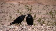 Wüste Krähen