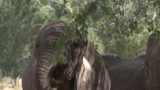 Desert Elephants (Loxodonta africana) feeding, Ugab River Basin, Namibia: desert-dwelling population of African Bush Elephant though not distinct subspecies