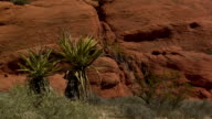 desert palms zoom out at red rock