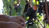 Detail as worker cuts grapes from vine, vineyard