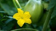 Detail of cucumber flower VIDEO