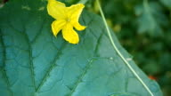 Detail of cucumber leaf and the flower VIDEO