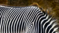 Detail of skin on a Grevy`s Zebra, Cabárceno Natural Park, Pisueña Valley, Municipality of Penagos, Cantabria, Spain, Europe