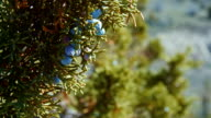 Detail of western juniper berries macro Spring Sutton Mountain John Day Great Basin High Desert Columbia Plateau