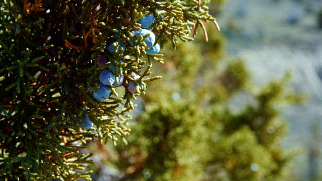 Detail of western juniper berries macro Spring Sutton Mountain John Day Great Basin High Desert Columbia Plateau