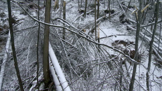 Devastation In The Forest After An Ice Storm