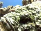 Devils head Scorpion fish close up.