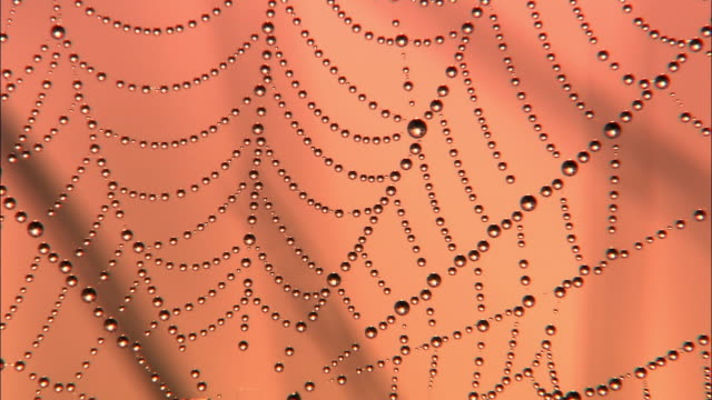 Dew covered spider web at dawn, Richmond Park, London, UK