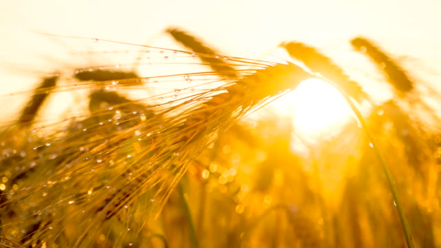 CU DS Dew On A Barley