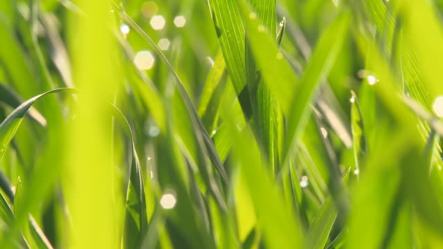 HD DOLLY: Dew On Green Wheat Stems