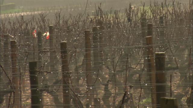 CU Dew on vine / Burgundy, France