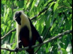 Diana monkey looking alert and alarm calling in canopy, West Africa