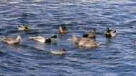 Different Species Ducks Feeding in a Pond