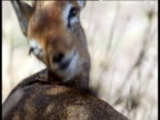 Dik-dik grooms the fur on its back