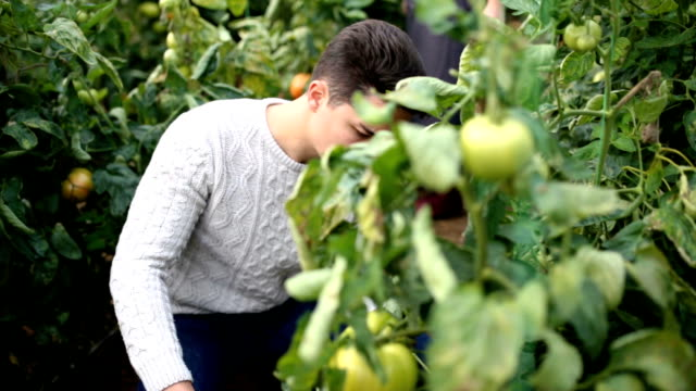 Diligent Farmer Cheerfully Picking Tomatoes In Greenhouse