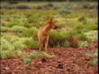 Dingo forages over outback, Northern Territory, Australia