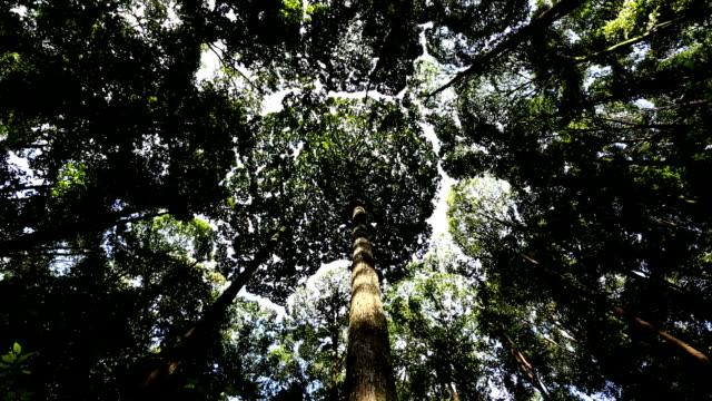 Dipterocarp Trees Kuala Lumpur Malaysia Southeast Asia Rainforest