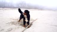 Vuile natte Belgische Sennenhond graven van het gat in het zand op de Baltische Zee strand