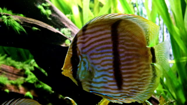Diskuswurf Fish