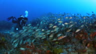 A diver explores a coral reef in Jupiter, FL surrounded by a school of fish