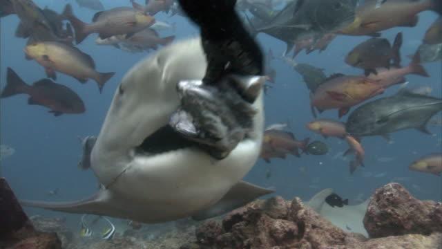 Diver hand feeds bull shark (Carcharhinus leucas), Fiji