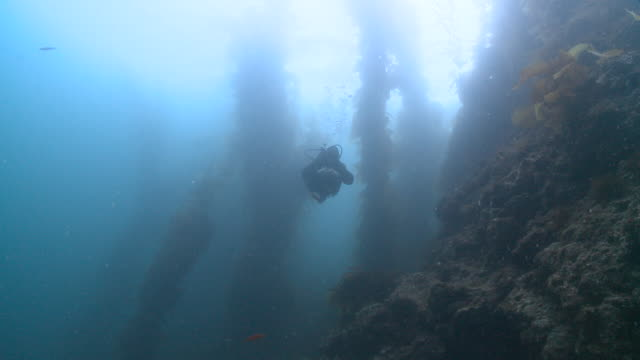 Diver, ray and looming kelp forest