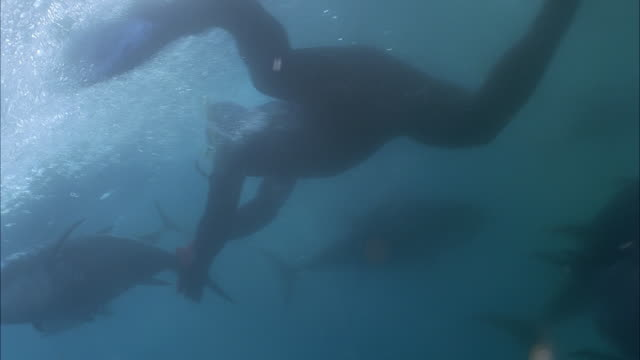 SLO MO MS Diver swimming down to net and grabbing Yellowfin tuna (Thunnus albacares) tail / Moorea, Tahiti, French Polynesia