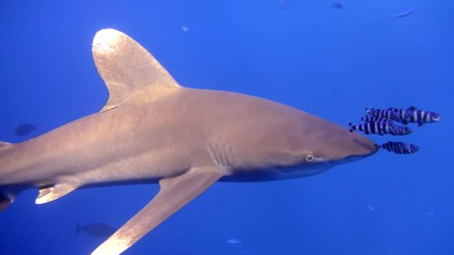 HD: Taucher Schwimmbad mit Shark