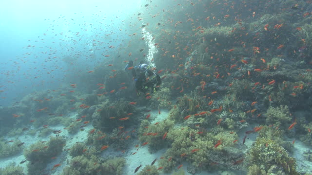 diver swims through thousands of anthius (Pseudanthius squampinnis), Red sea, Egypt