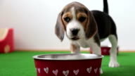 dog beagle eating from a puppy bowl indoors - front view