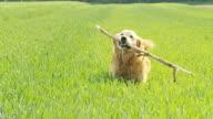 HD-SLOW-MOTION: Hund mit einem Stick
