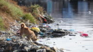 HD dog drinking from polluted river in the Philippines
