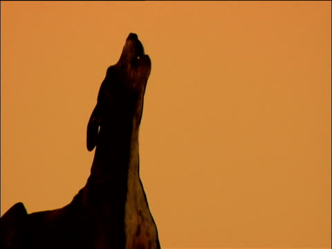 Dog howls silhouetted against orange sky India