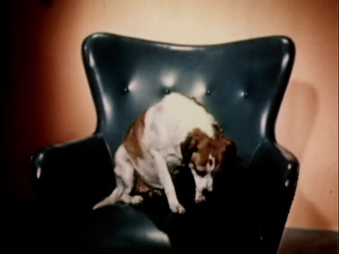 1956 WS Dog lying down on blue leather chair / USA