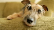 Dog on sofa awake
