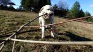 Dog playing. Pov