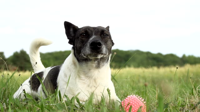 HD SUPER SLOW-MO: Dog Resting In The Grass