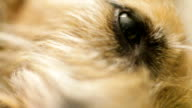 Dog's eye close up