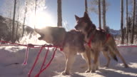 Dogs get excited to pull sled as a team