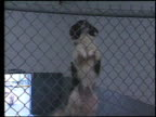 / dogs in pound barking behind metal chain link fence / black and white dog starts climbing fence using his paws until he's perched on top / dog...