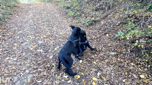 Dogs playing in autumn
