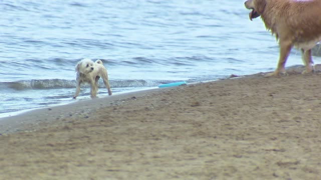 Dogs Playing In Lake Michigan