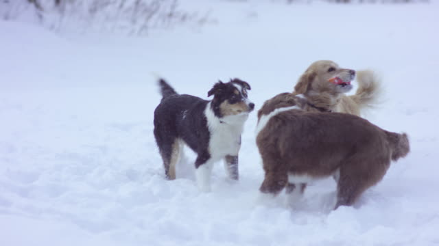 Cani giocare nella neve