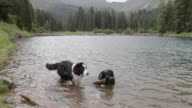Dogs playing with wood stick in forest lake